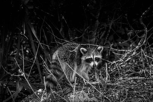 Raccoon, Wildlife, Black And White
