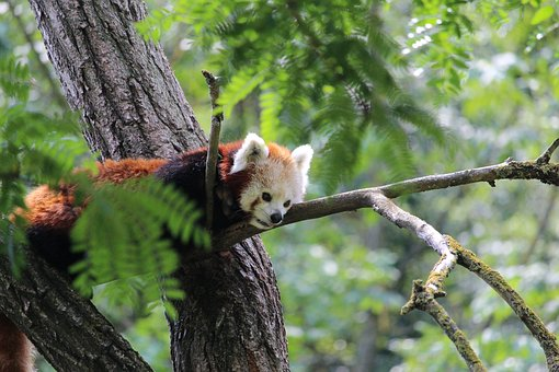 Red Panda, Panda, Animal, Wood