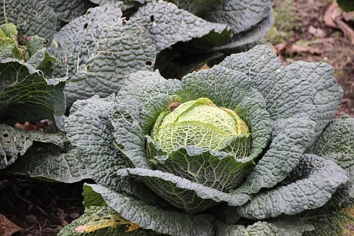 Savoy, Kohl, Savoy Cabbage, Winter Vegetables, Cabbage
