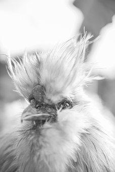 Fluffy, Chicken, Hen, Bird, Poultry, White, Farm