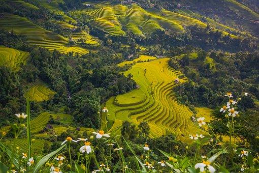 Asia, Field, Food, Gold, Enjoy, Green, Ethnic, Hiking