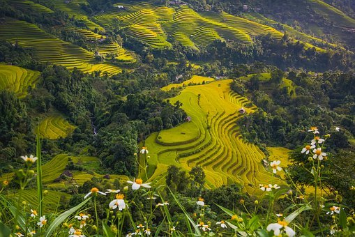 Asia, Field, Food, Gold, Enjoy, Green, Ethnic, Hiking