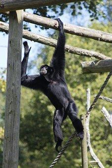 Monkey, Zoo, Animal, Hanging Around, Swinging, Wild