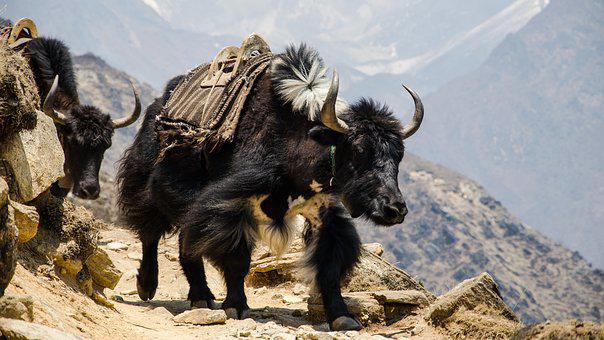 Nepal, The Himalayas, Hefty
