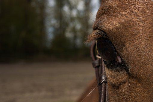 Horse, Eye, Horse Head, Forest, Pferdeportrait, Animal