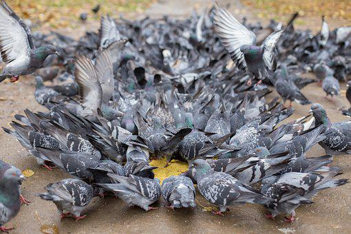 Pigeons, A Flock Of, Millet