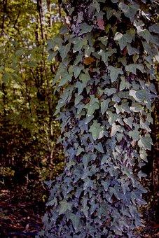 Ivy, Creeper, Plant, Green, Creepers, Plants, Leaf