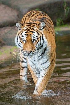 Tiger, Tiergarten, Nuremberg, Big Cat, Predator, Zoo