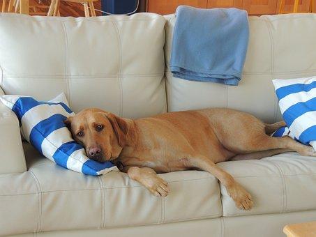 Dog Sleeping, Dog On Coach, Labrador, Adorable, Puppy