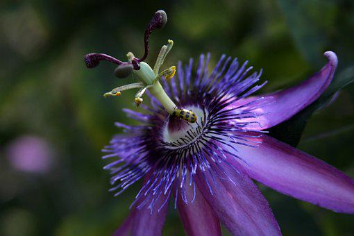 Passion Vine, Flower, Purple, Passion, Nature, Garden