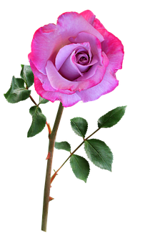 Rose, Mauve, Pink, Single Stem