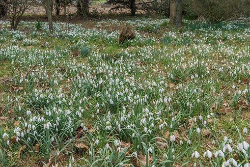 Snowdrops, Spring, White, Green, Nature, Flower, Garden