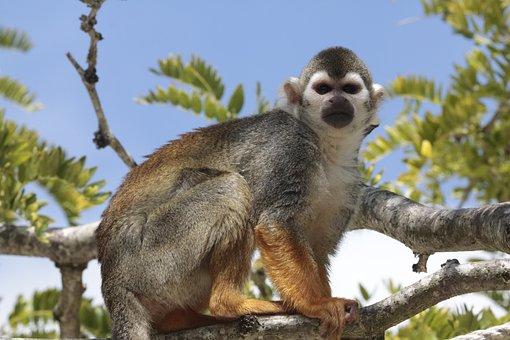 Squirrel Monkey, Saimiri, Animals