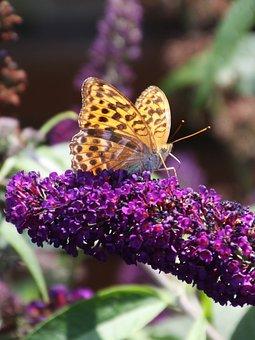 Vanessa Cardui, Buddleja Davidii, Butterfly, Nature