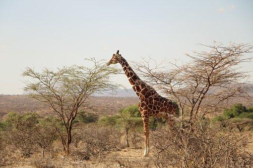 Giraffe, Safari, Animal, Wild, Wildlife, Africa, Nature