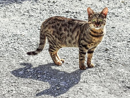 Cat, Stray, Tabby, Animal, Looking, Curious, Street