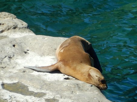 Animals, Crawl, Sea Lions, Seal, Meeresbewohner, Water