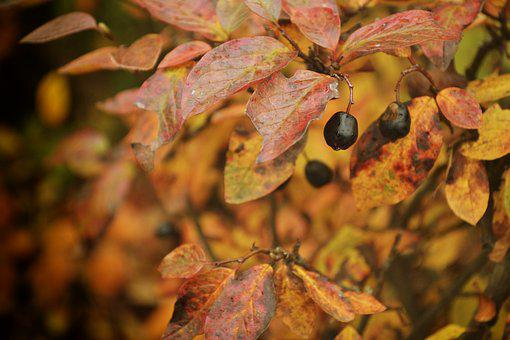 Autumn, Berry, Nature, Fruit, Barberry, Closeup, Shrub