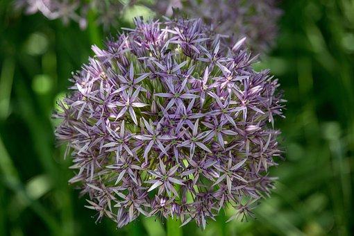 Ornamental Onion, Purple, Blossomed, Ball, Allium