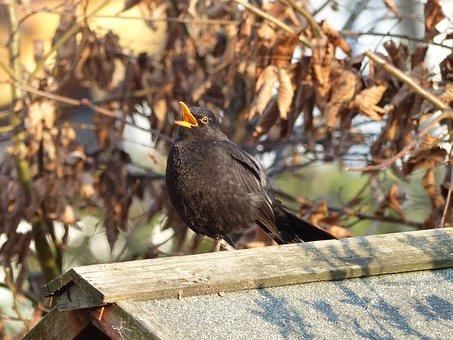 Blackbird, Sing, Blackbird Male