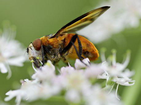 Close, Animal, Blossom, Bloom, Collect Nectar, Insect