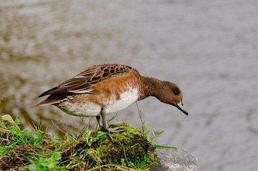 Duck, Bird, Mallard, Waterfowl, Brown Bird, Feathers