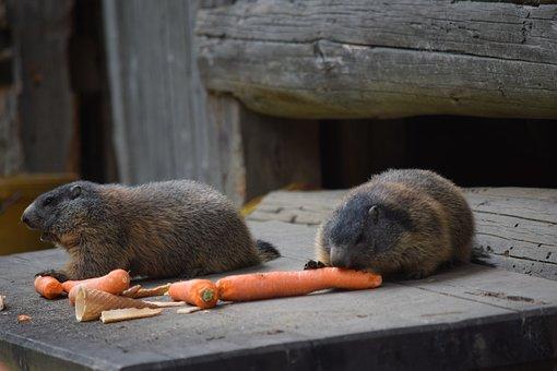 Marmot, Carrots, Alpine, Eat, Alm, Nature