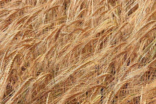 Cereals, Cornfield, Field, Plant, Background, Nature