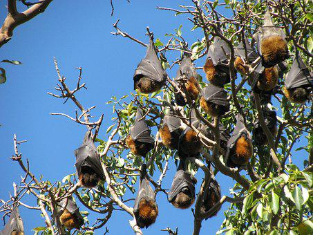 Bats, Wildlife, Australia, Flying Fox, Chiroptera
