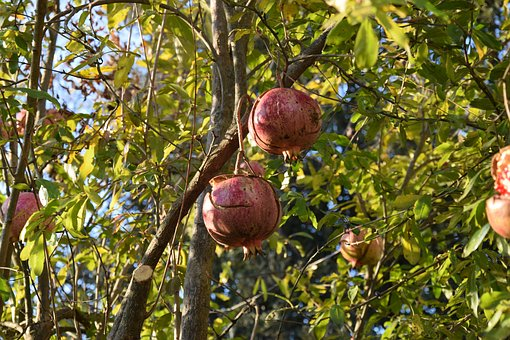 Pomegranate, Autumn, Fruit, In The Autumn, Mature