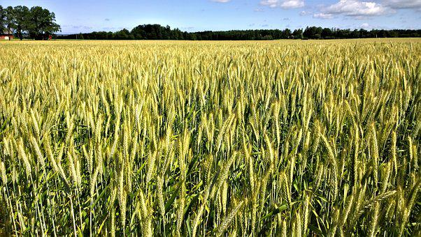 Cornfields, Go, Countryside, Landscapes, Cereals