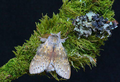 Moth, Lobster, Nature, Insect, Wildlife, Summer, Small
