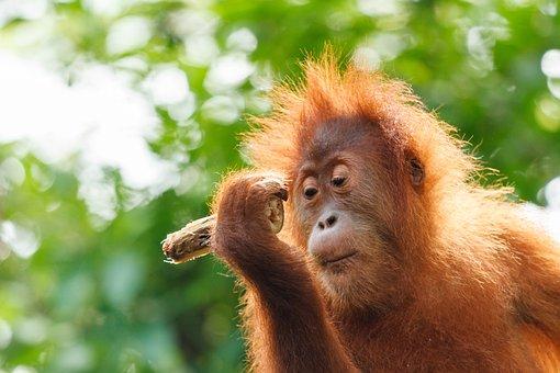 Orang-utan, Baby, Monkey, Orang Utan, Borneo, Zoo