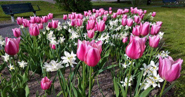 Tulips, Flowers, Narcissus, Park, Spring, Planting