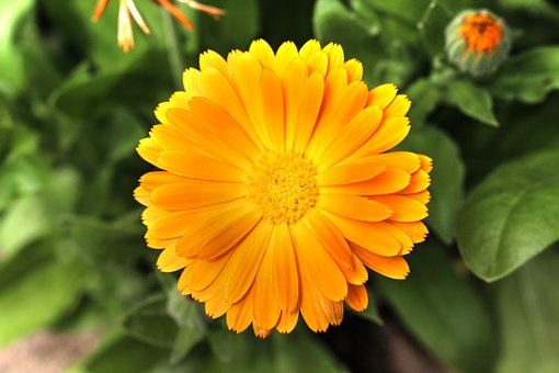 Marigold, Blossom, Bloom, Blossomed, Orange, Calendula