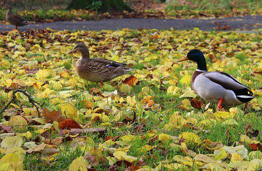 Wild Ducks, Para, Wild Birds, She And He, Mallard Duck