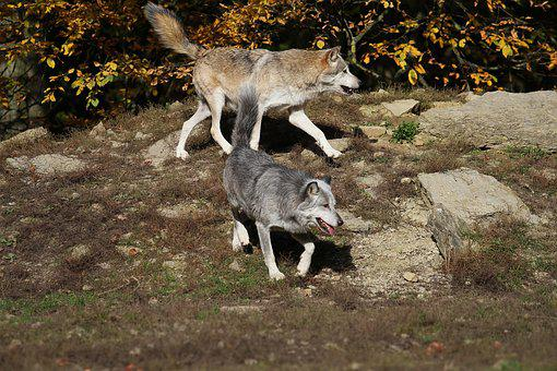Wolves, Timber Wolves, Predator, Canada, Pack