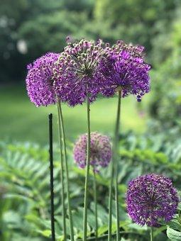 Garden, Alium, Bol