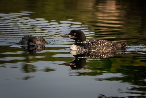 Loon, Nature, Bird, Lake, Water, Canada, Summer, Animal