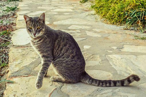 Cat, Stray, Tabby, Animal, Looking, Curious, Path