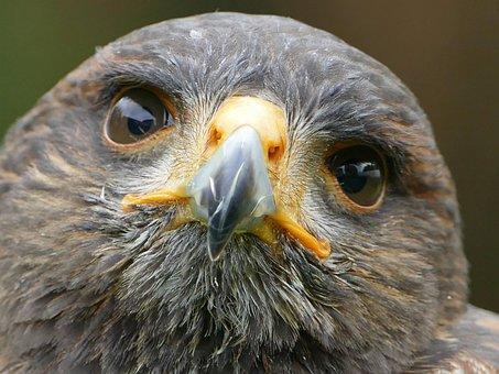 Harris Hawk, Raptor, Falconry, Bird Of Prey
