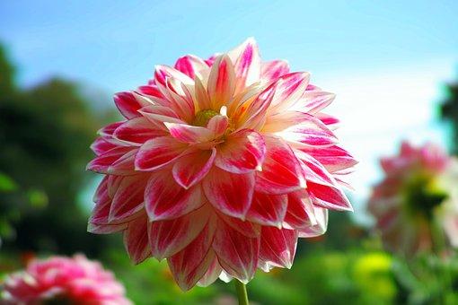 Autumn, Flowers, Dahlia, Fall Of Japan, Autumn Rose
