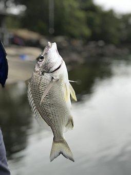 Fishing, Fish, Brim, Water, River, Nature, Catch, Hobby