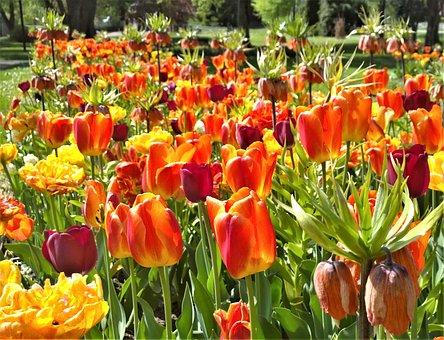 Tulips, Flowers, Spring, Garden, Park, Planting, Tulip