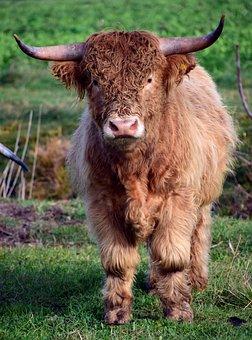 Bull, Boy, Galloway, Beef, Hairy, Fur, Frontal