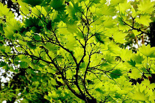 Japanese Maple, Foliage, Green Leaves, Tree, Branch