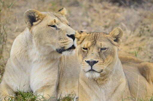 Lioness, Lion, Africa, Wild, Nature, Wildlife, Female