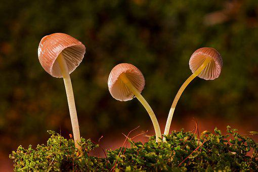 Mushroom, Moss-häublinge, Mushrooms, Mini Mushroom