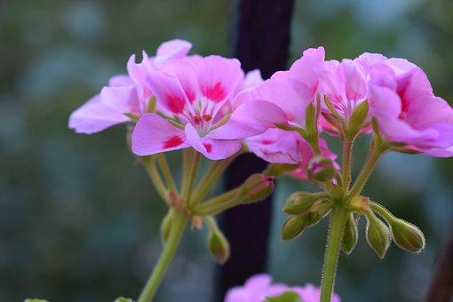 Geranium, Pelargonium, Pink Flower, Garden, Plant