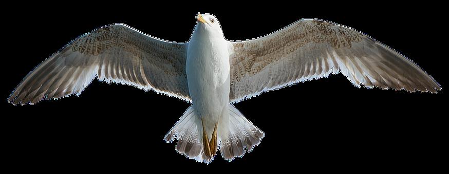Seagull, Bird, Animal, Water Bird, Seevogel, Close